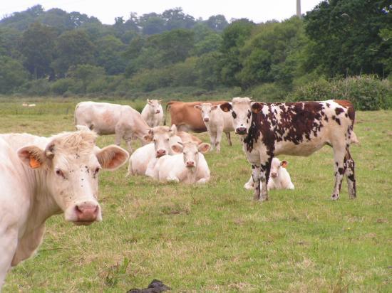 Quelques vaches charolaises et normandes.